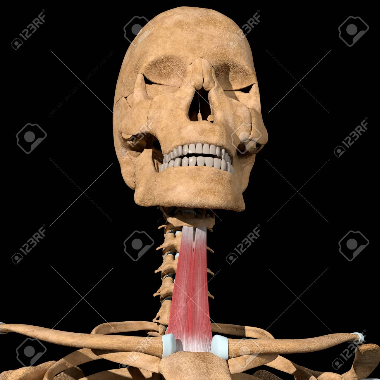 This 3d illustration shows the sternohyoid muscles on skeleton - 141540848