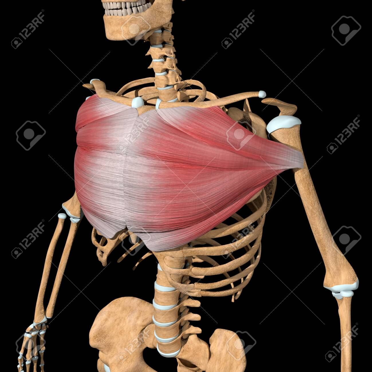 This 3d illustration shows the pectoralis major muscles on skeleton - 141583240