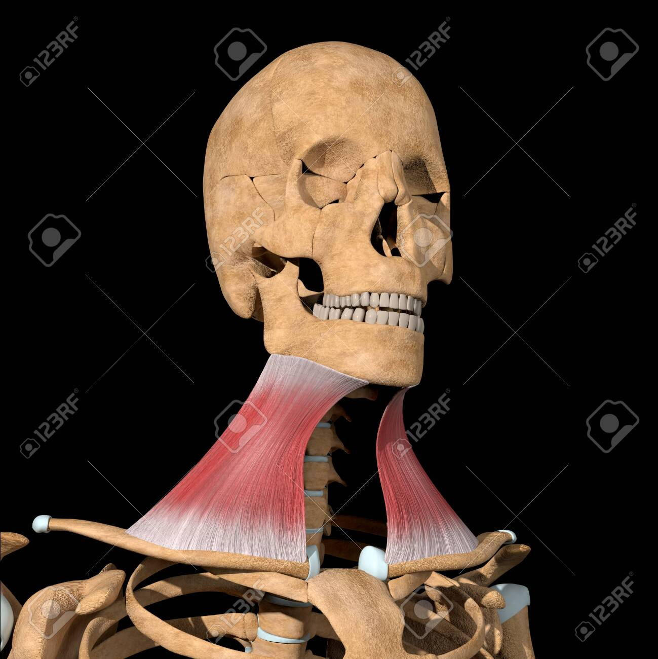 This 3d illustration shows the platysma muscles on skeleton - 141583268