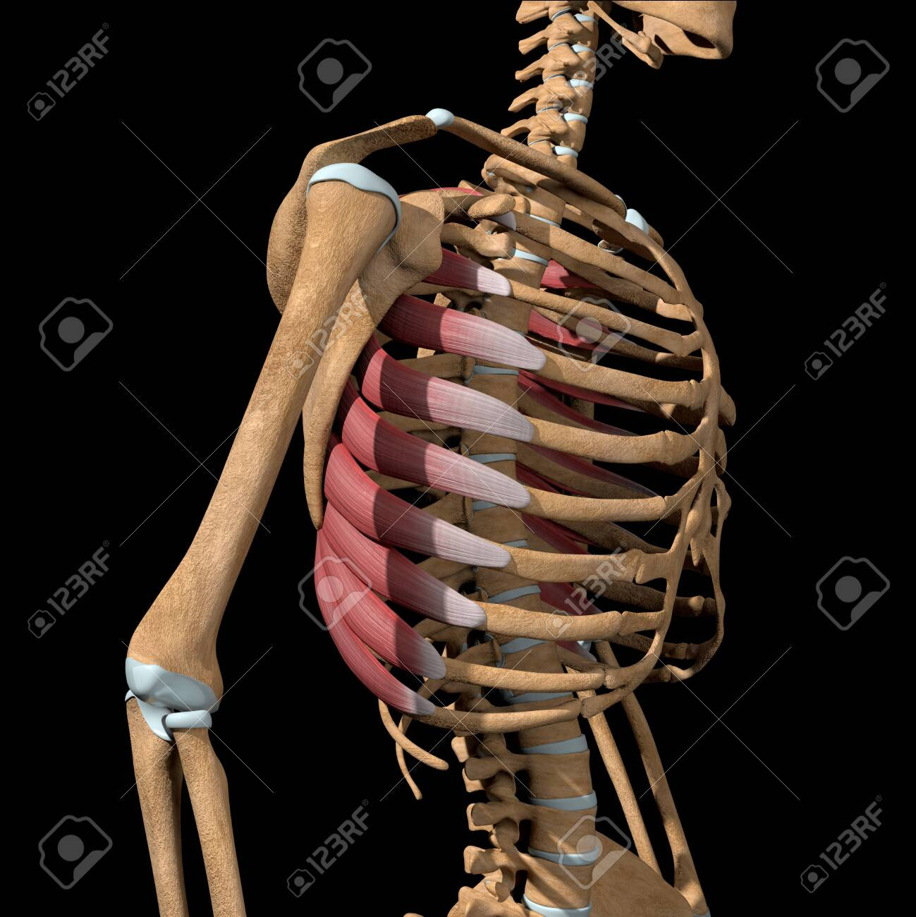 This 3d illustration shows the serratus anterior muscles on skeleton - 142173666