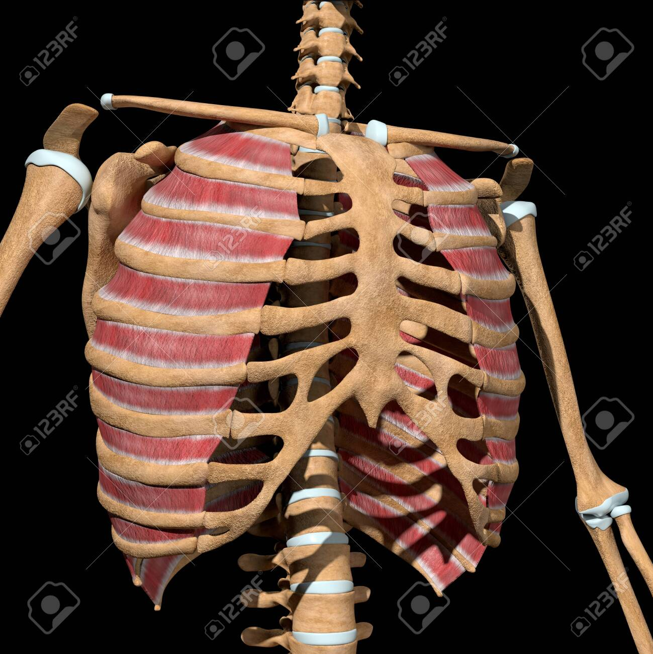 This 3d illustration shows the external intercostal muscles on skeleton - 141625535