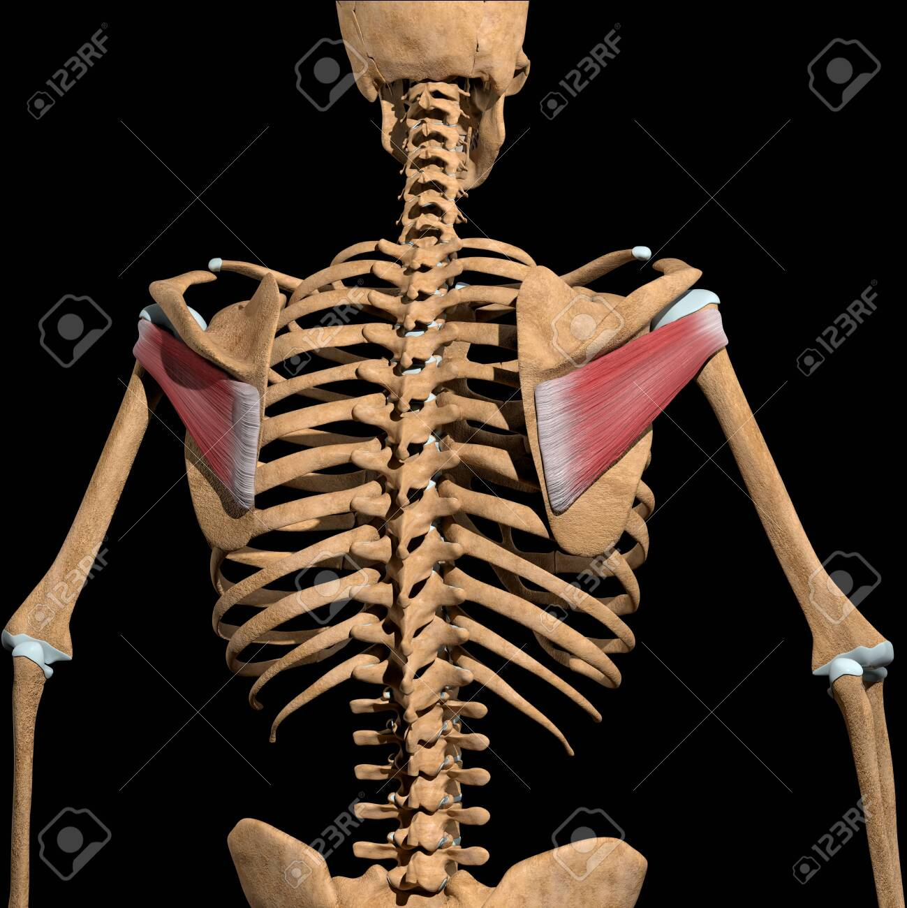 This 3d illustration shows the infraspinatus muscles on skeleton - 141625565