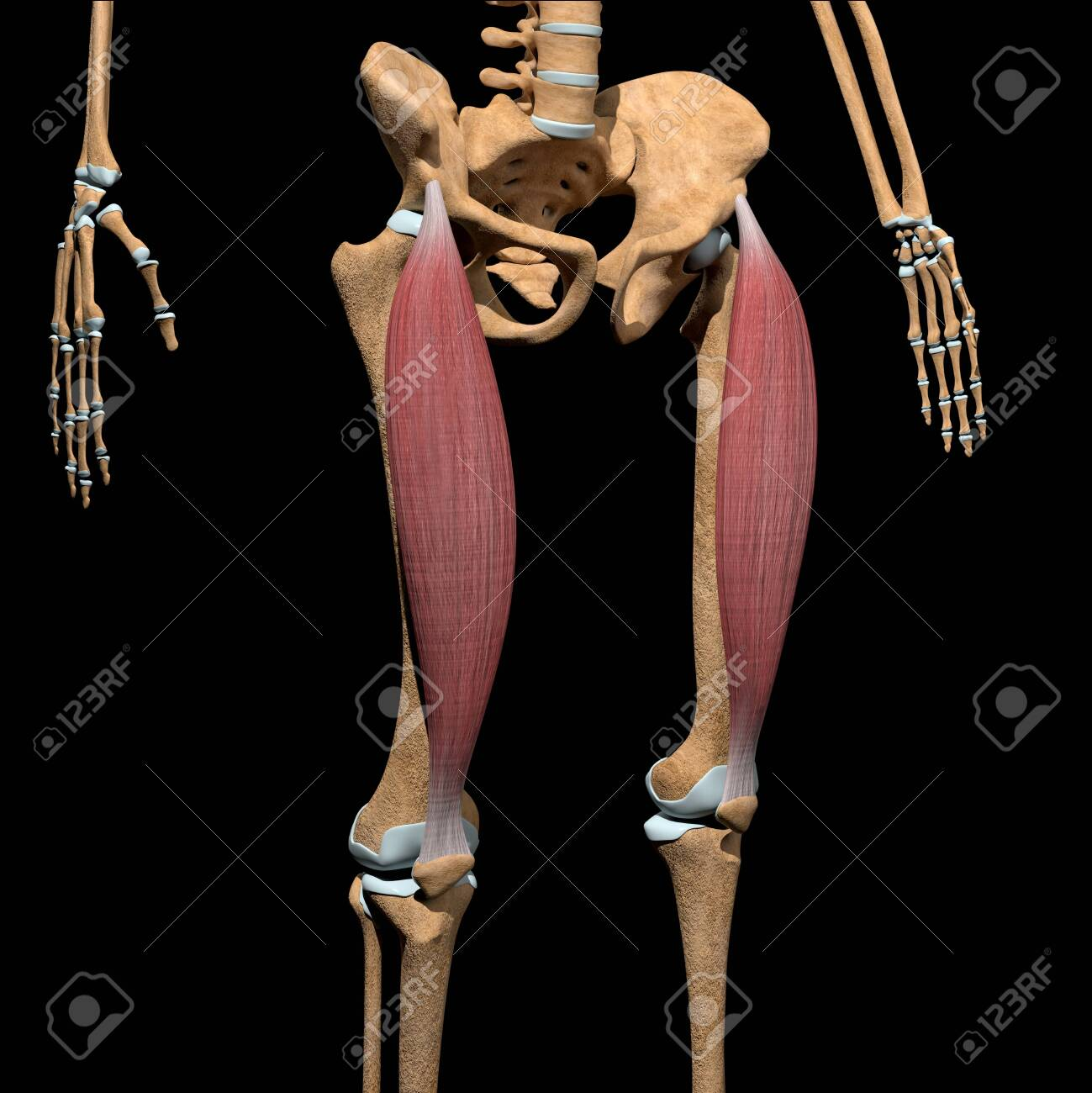 This 3d illustration shows the rectus femoris muscles on skeleton - 141625590