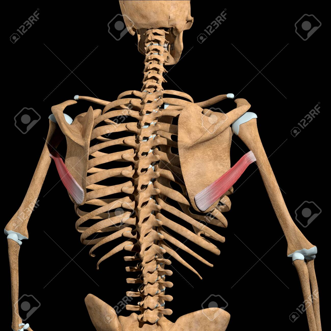 This 3d illustration shows the teres major muscles on skeleton - 141625443