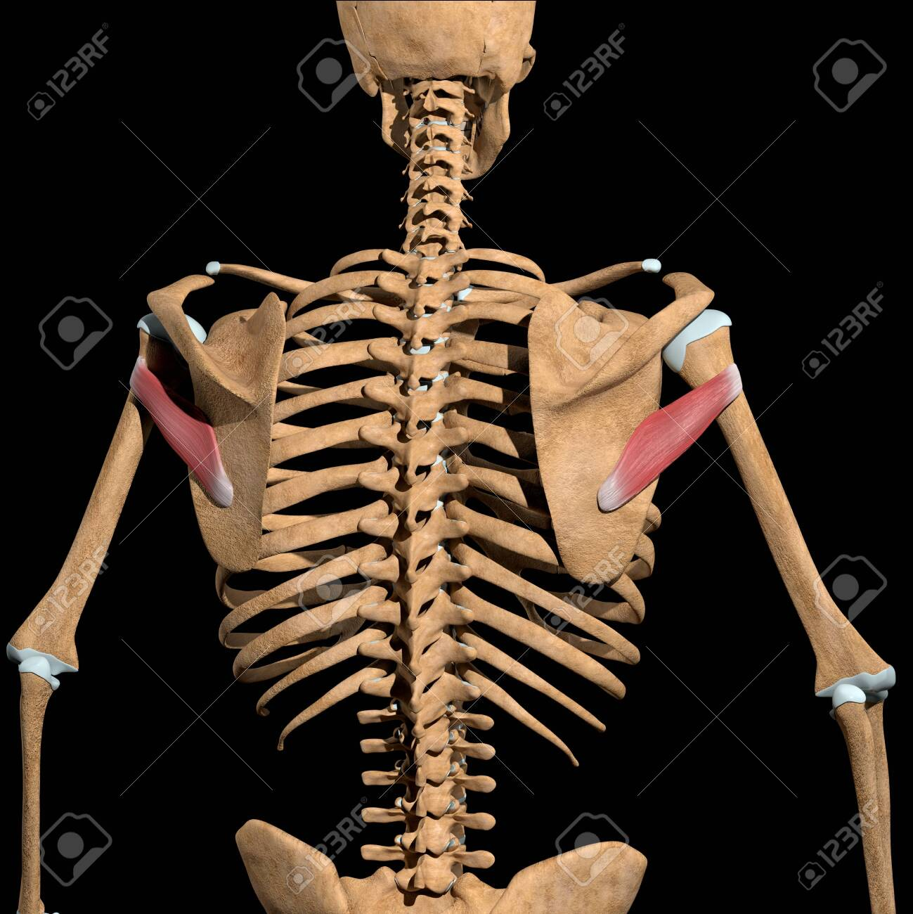 This 3d illustration shows the teres minor muscles on skeleton - 141625428