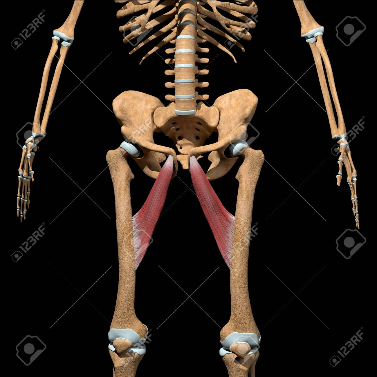 This 3d illustration shows the adductor longus muscles on skeleton - 141625977