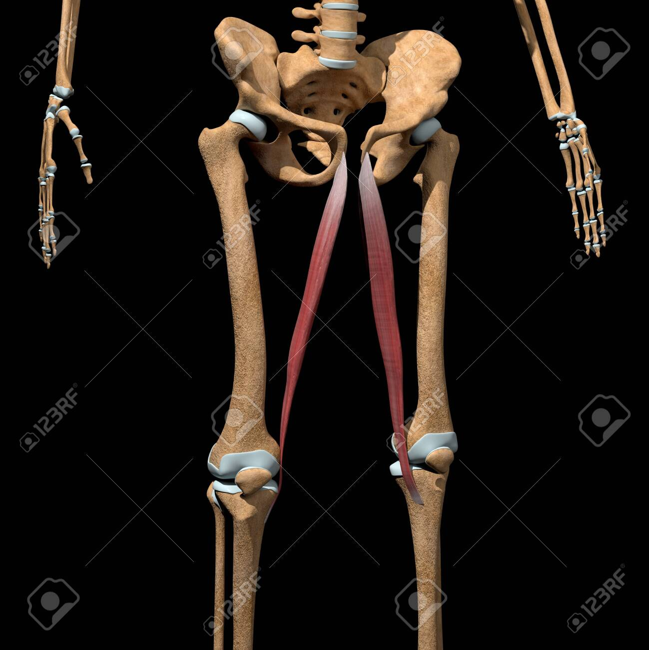 This 3d illustration shows the gracilis muscles on skeleton - 142171656