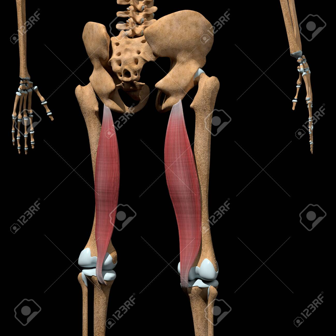 This 3d illustration shows the semimembranosus muscles on skeleton - 142171657