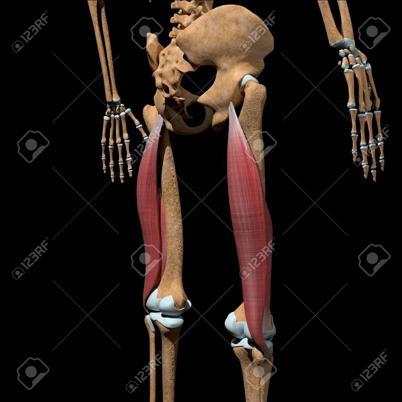 This 3d illustration shows the biceps femoris muscles on skeleton - 142171659