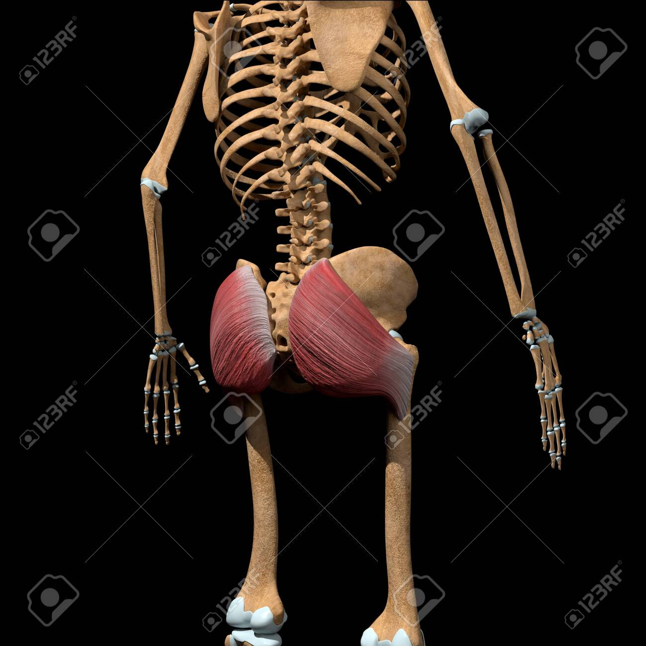 This 3d illustration shows the gluteus maximus muscles on skeleton - 142171660