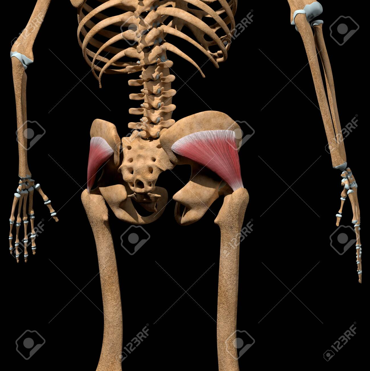 This 3d illustration shows the gluteus minimus muscles on skeleton - 142171662