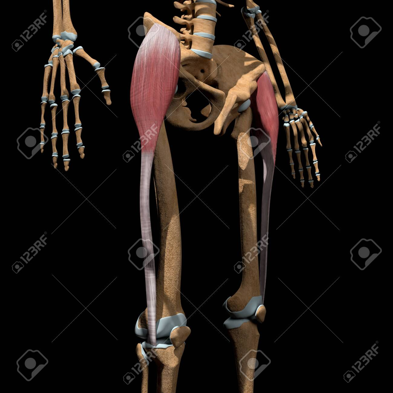 This 3d illustration shows the tensor fasciae latae muscles on skeleton - 142171668