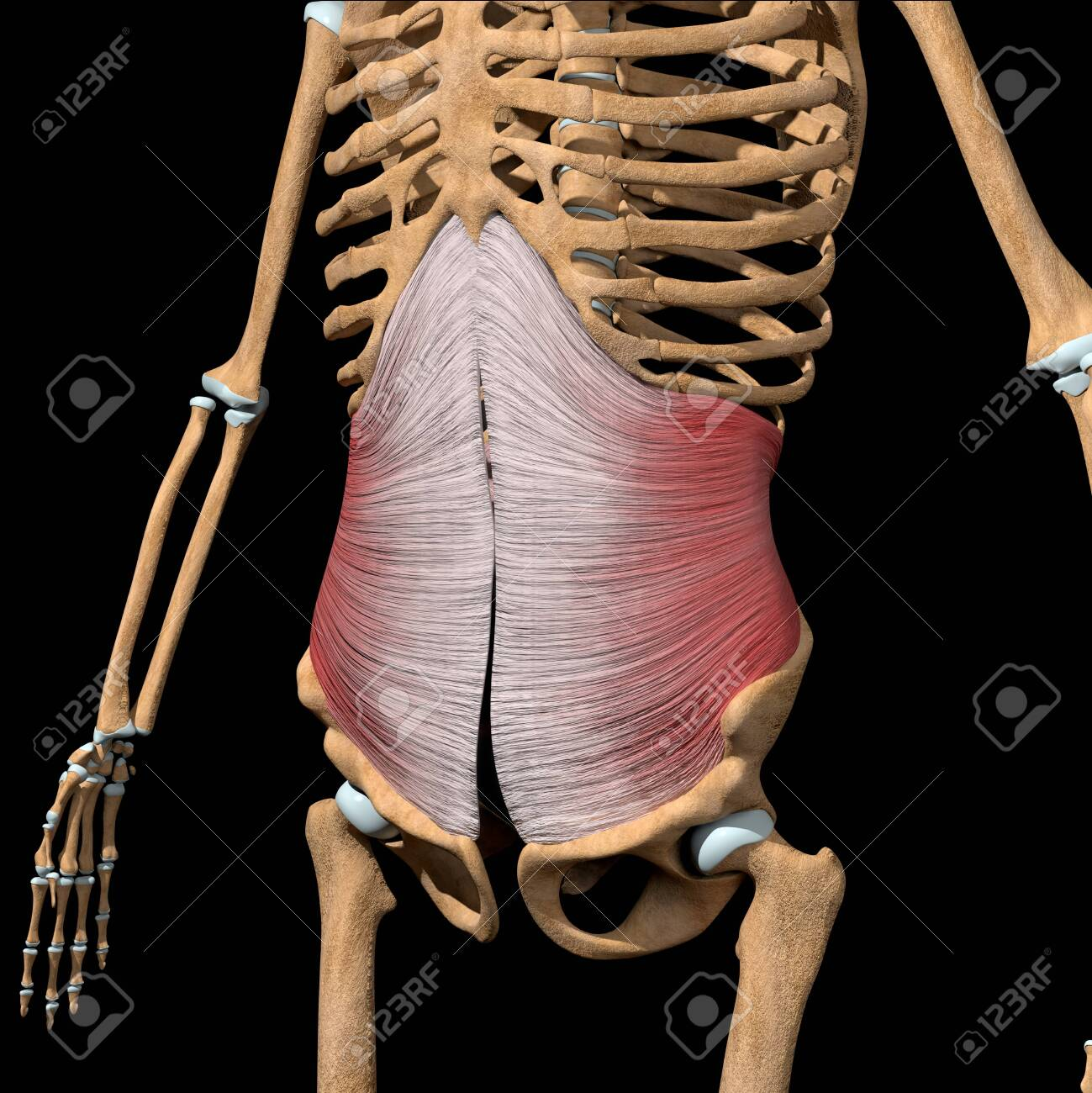This 3d illustration shows the transverse abdominal muscles on skeleton - 141734520