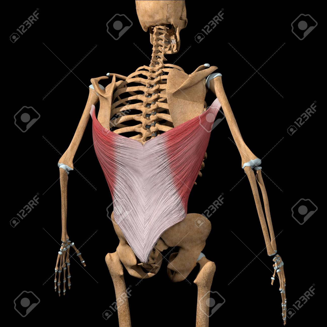 This 3d illustration shows the latissimus dorsi muscles on skeleton - 141690438