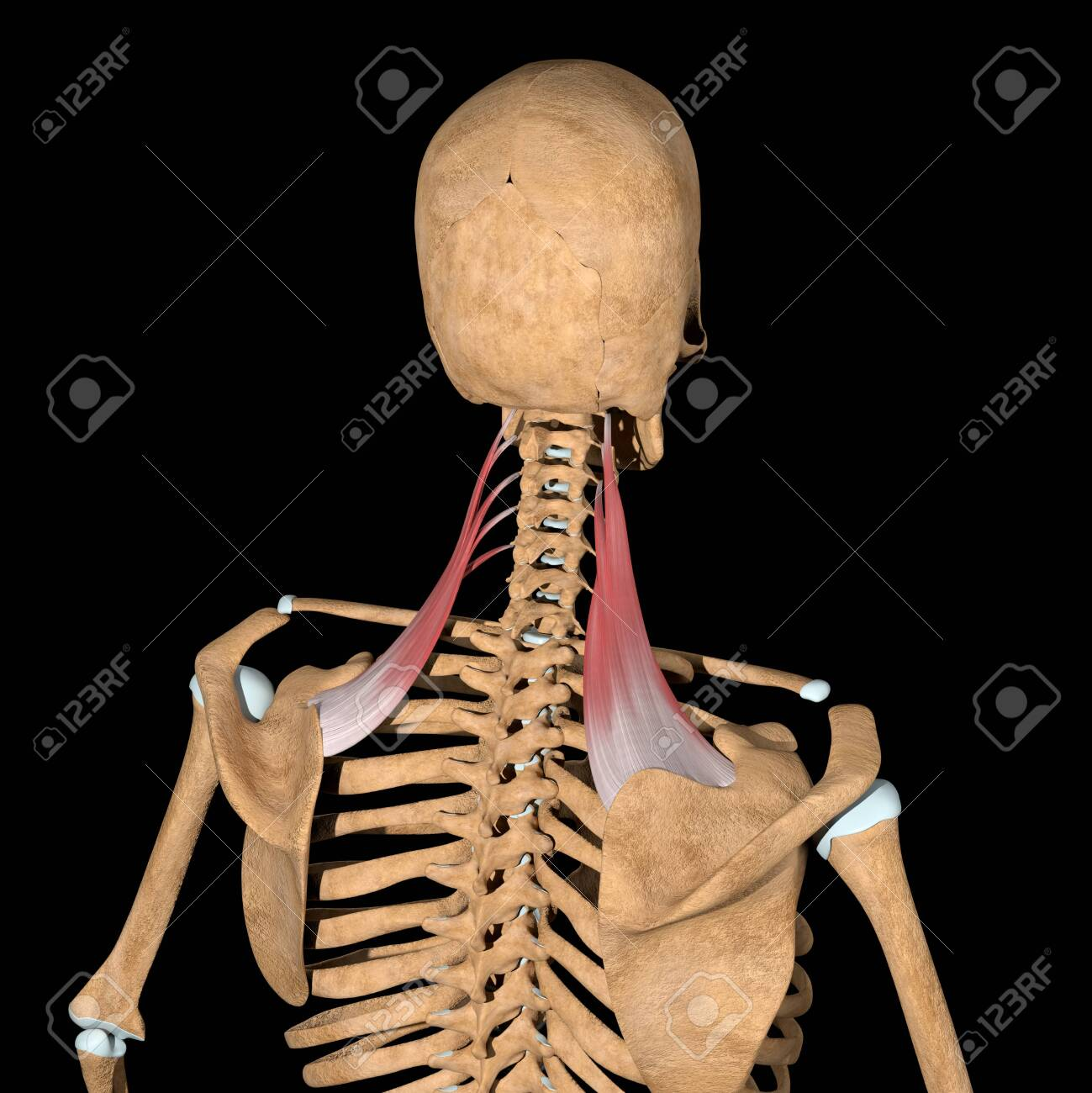 This 3d illustration shows the levator scapulae muscles on skeleton - 141774748
