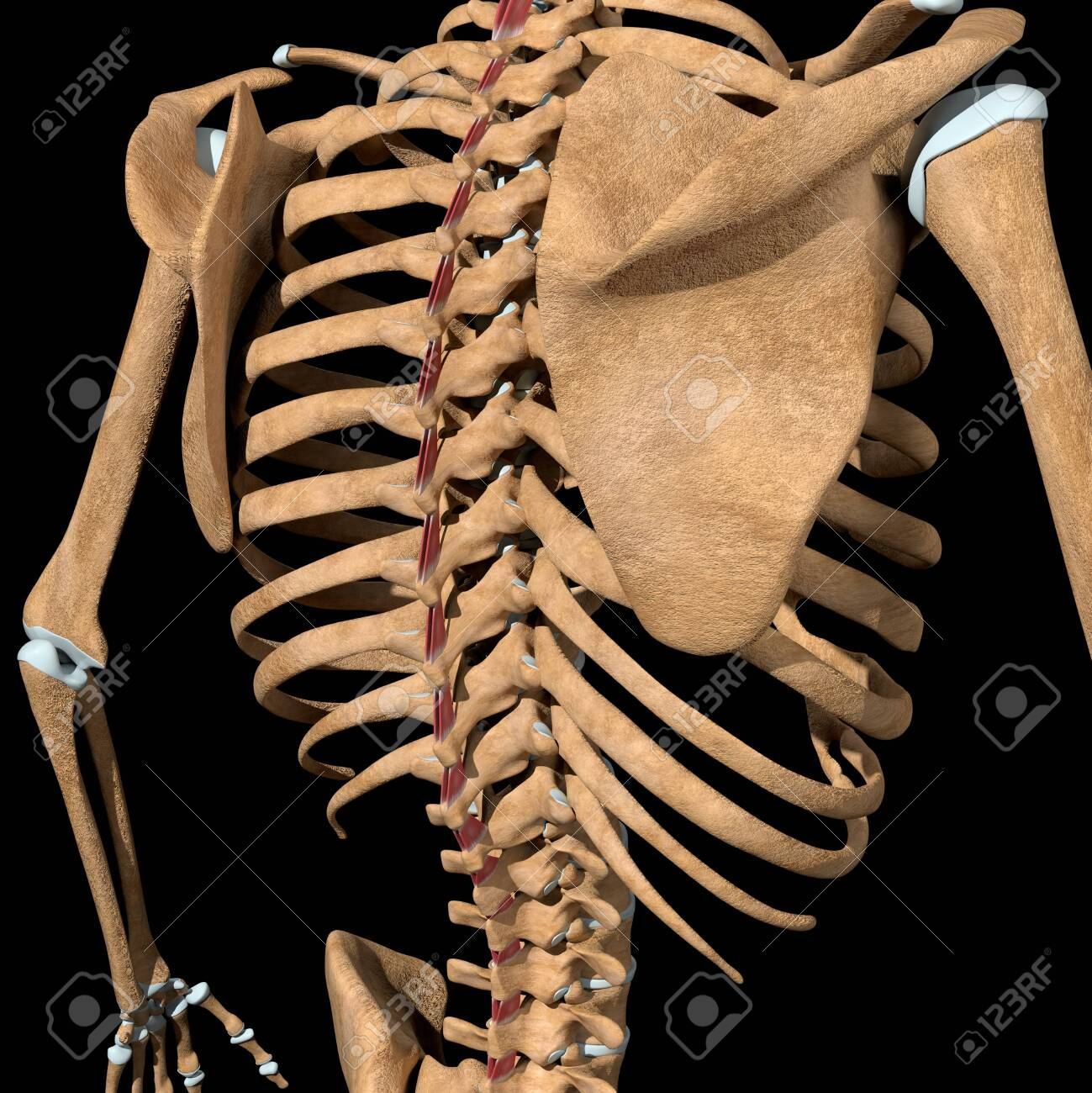 This 3d illustration shows the interspinales muscles on skeleton - 141774710
