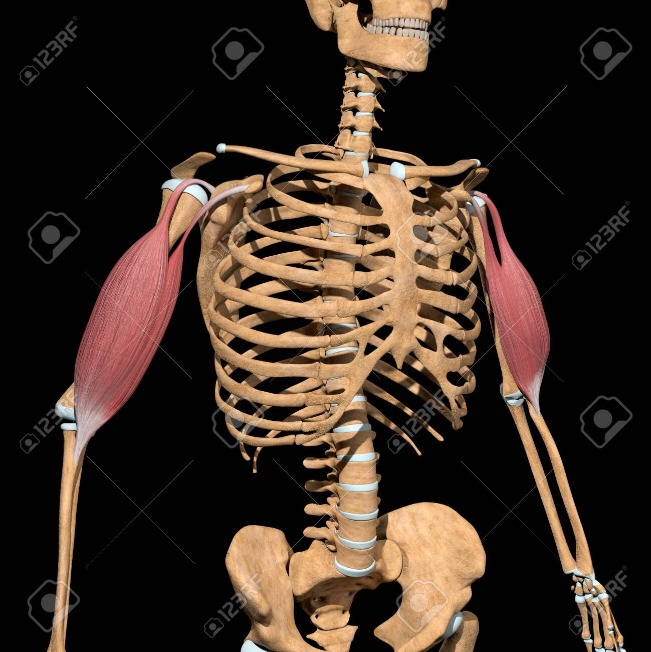 This 3d illustration shows the biceps muscles on skeleton - 142009968