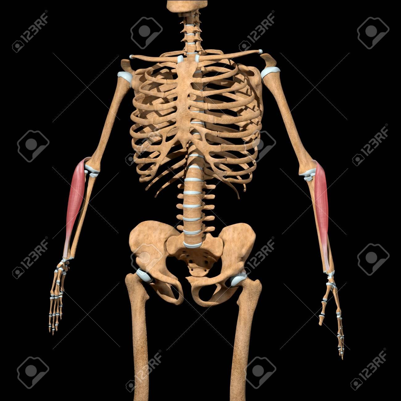 This 3d illustration shows the brachioradialis Lumborum muscles on skeleton - 142009940