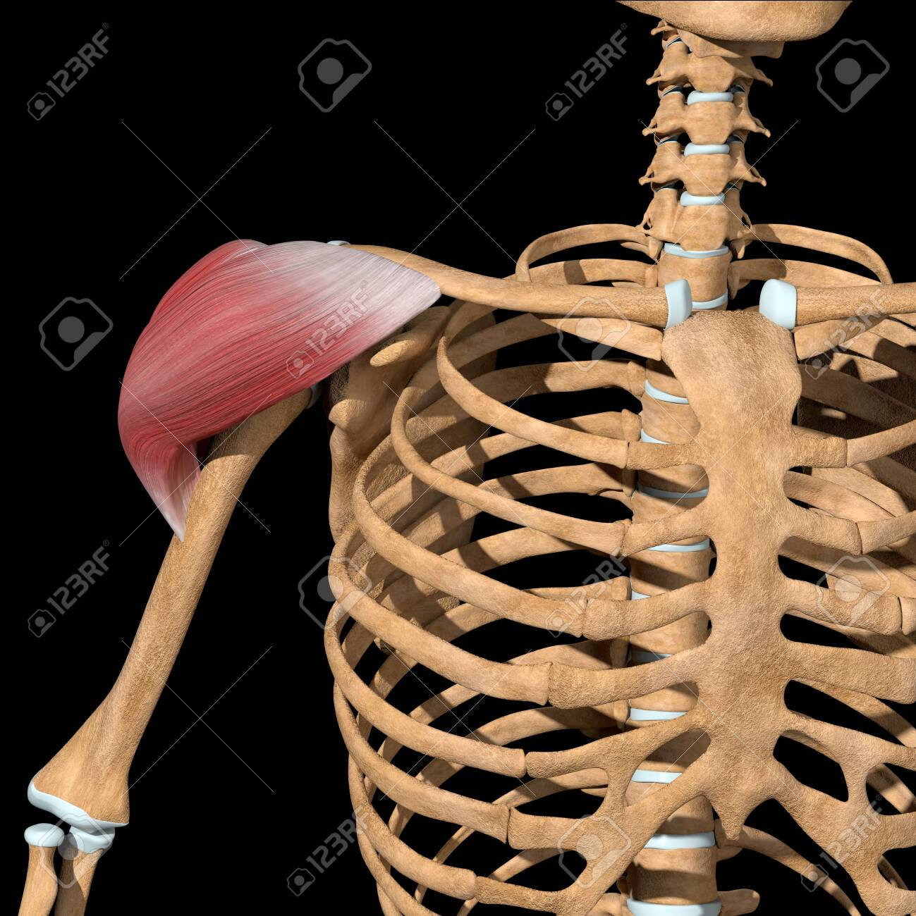 This 3d illustration shows the front view of the deltoid muscles - 144346038