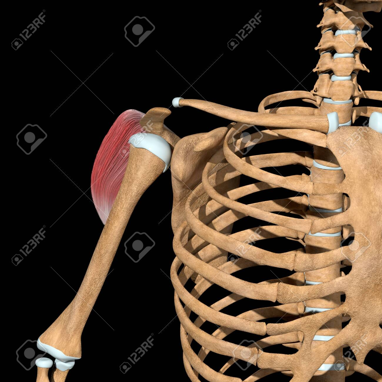 This 3d illustration shows the front view of the posterior head of the deltoid muscles - 144346050