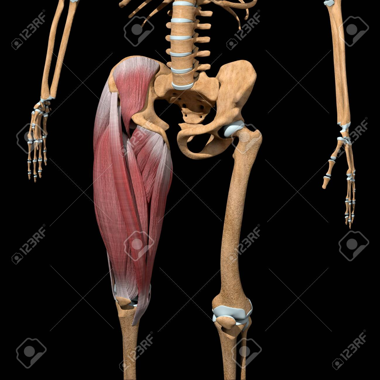 This 3d illustration shows the Thigh muscles group on skeleton - 145943063