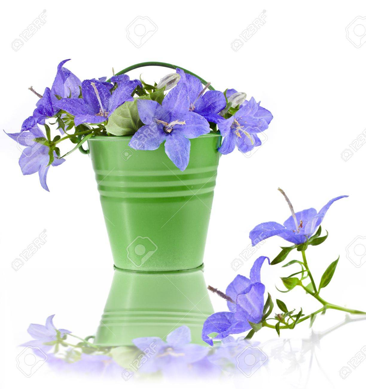 Campanula Blue Flower Bouquet In The Bucket Isolated On White ...