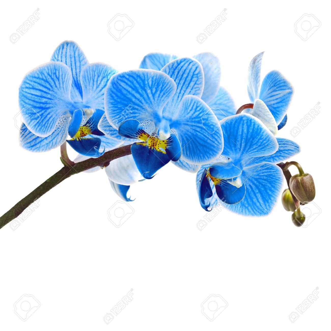 Foto de archivo , Hermosa flor de la orquídea, phalaenopsis azul cerca de aislados sobre fondo blanco