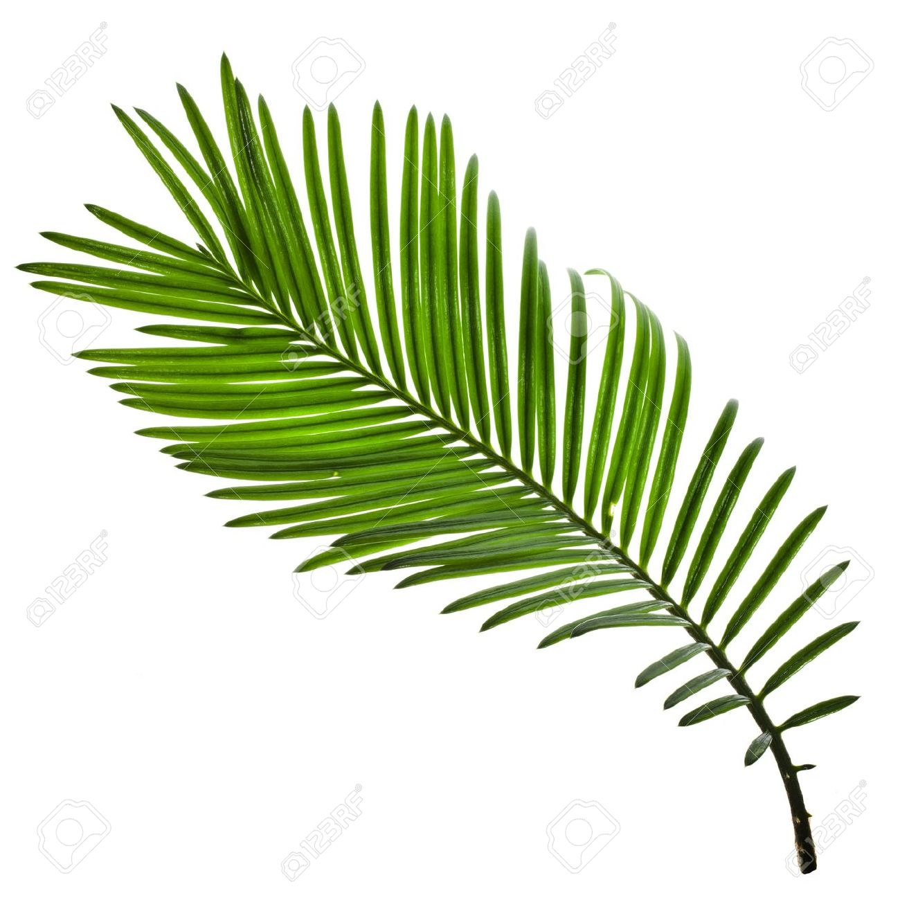 single green leaf of palm tree isolate on white background stock