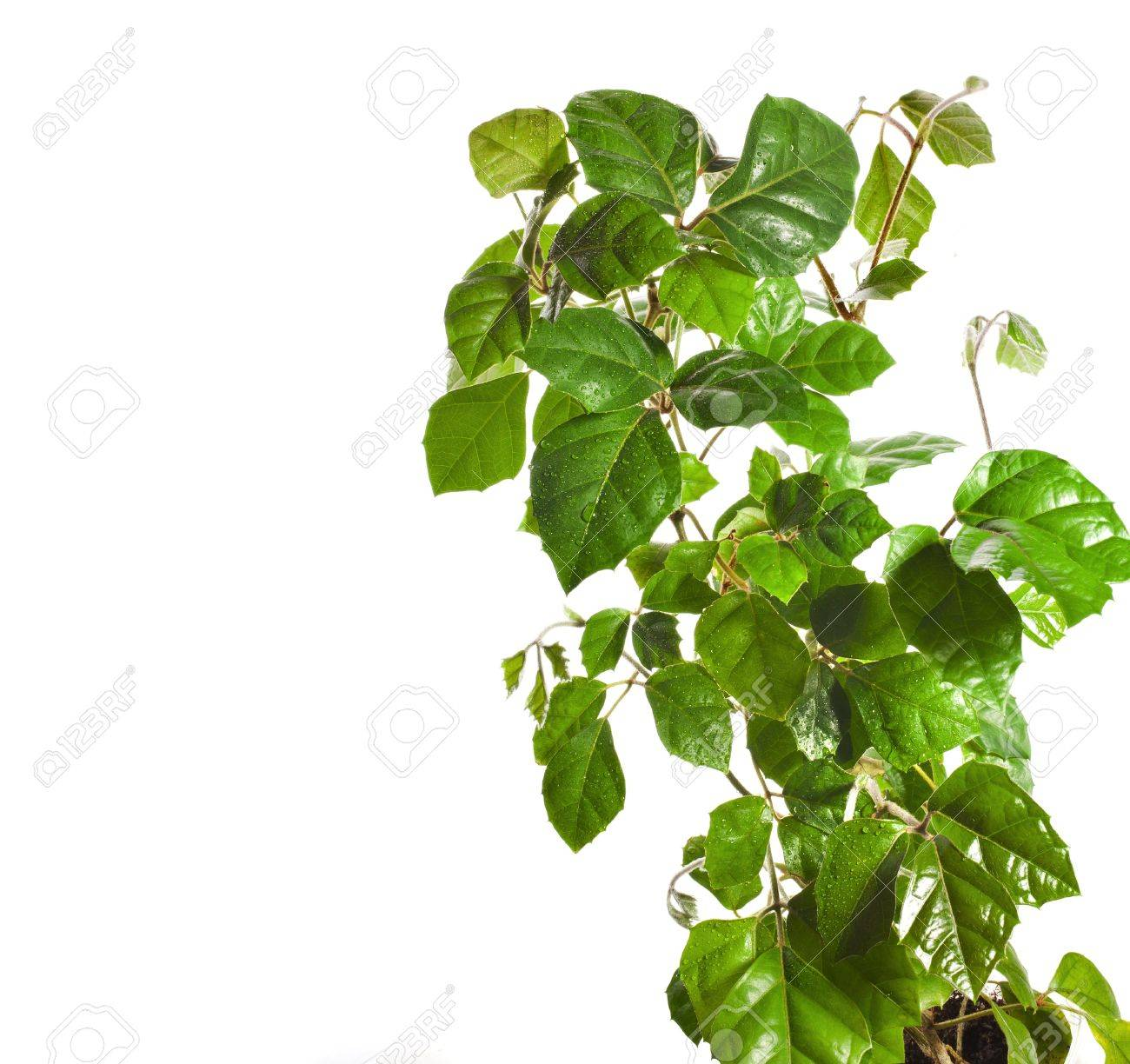 brunch of liana cissus isolated on white background Stock Photo - 20870929