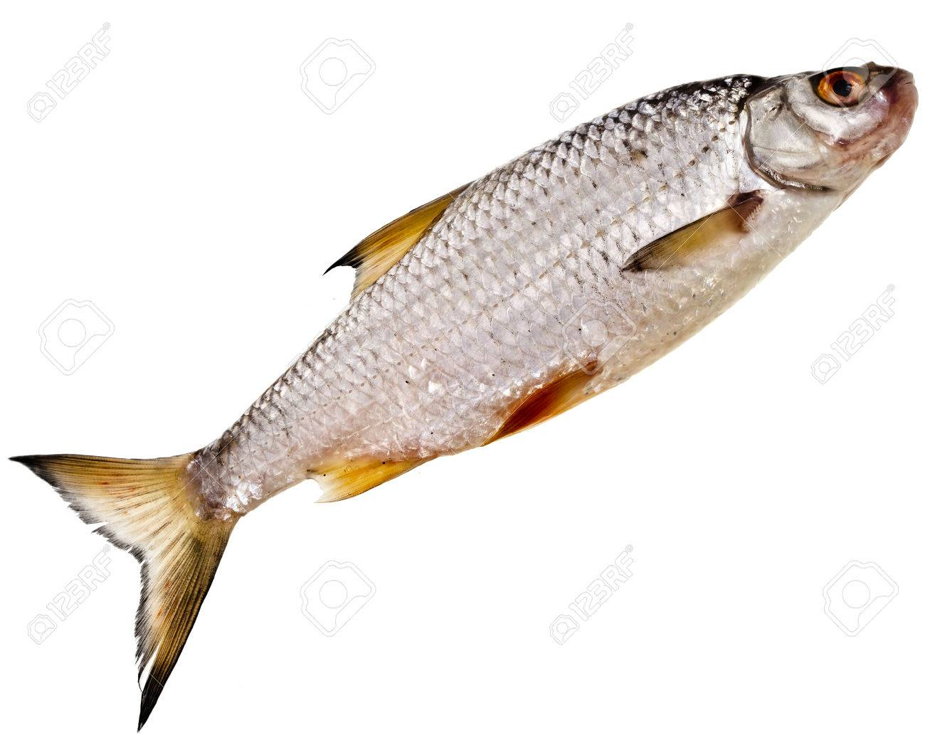 Freshwater fish bream - Animal Big Bream Carp Catch Closeup Cooking Delicacy