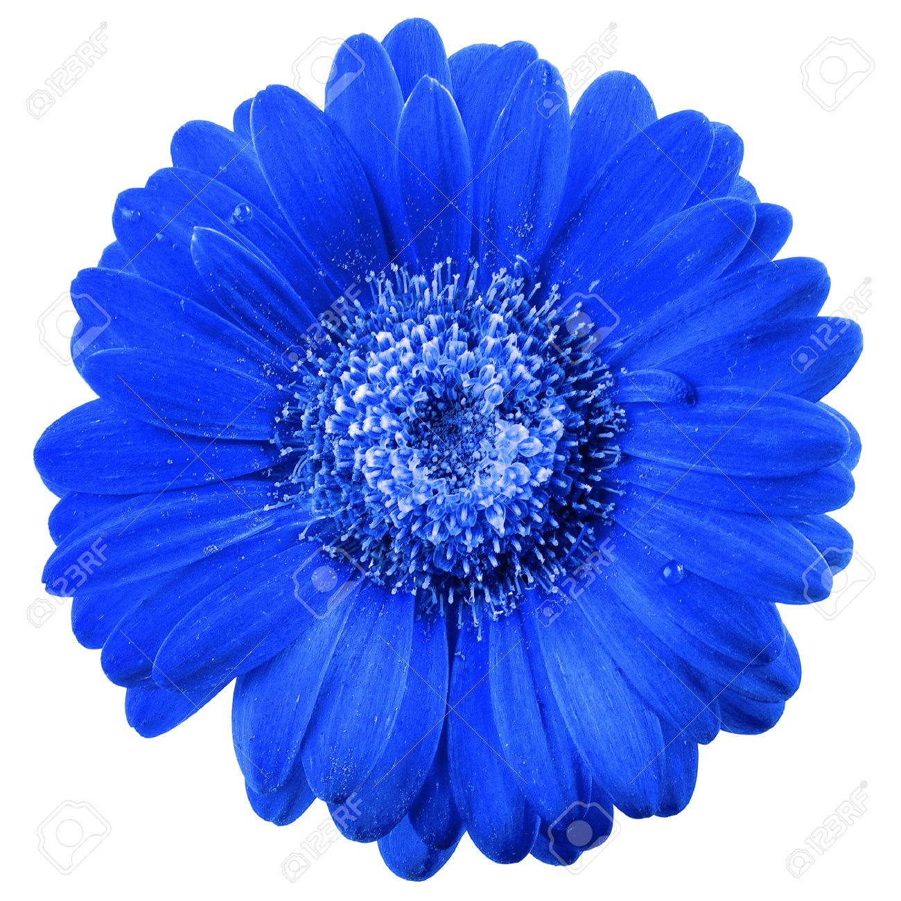 Beautiful Blue Flower Head With Water Drops Surface Close Up Stock