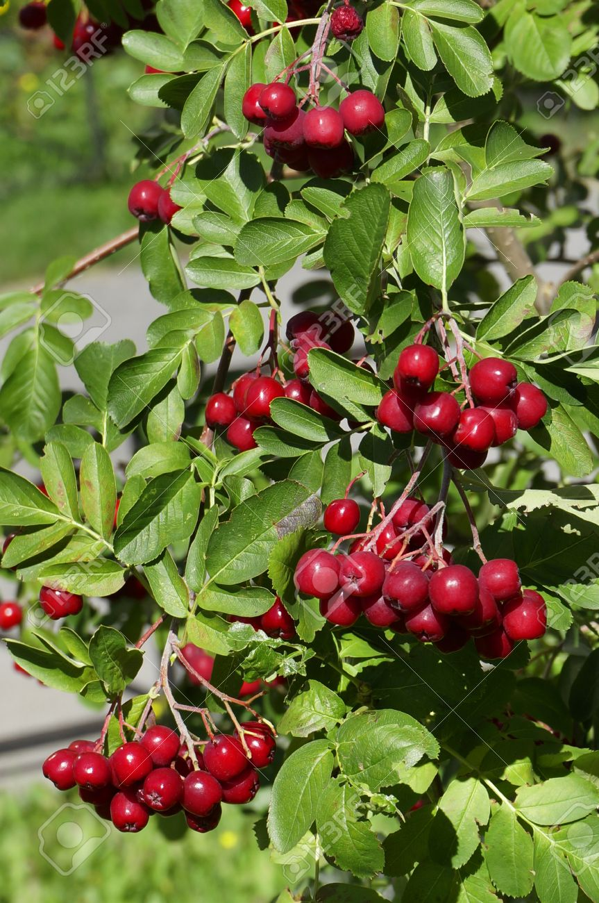 Decorative Rowan Hawthorn Tree With Blood Red Berries Close