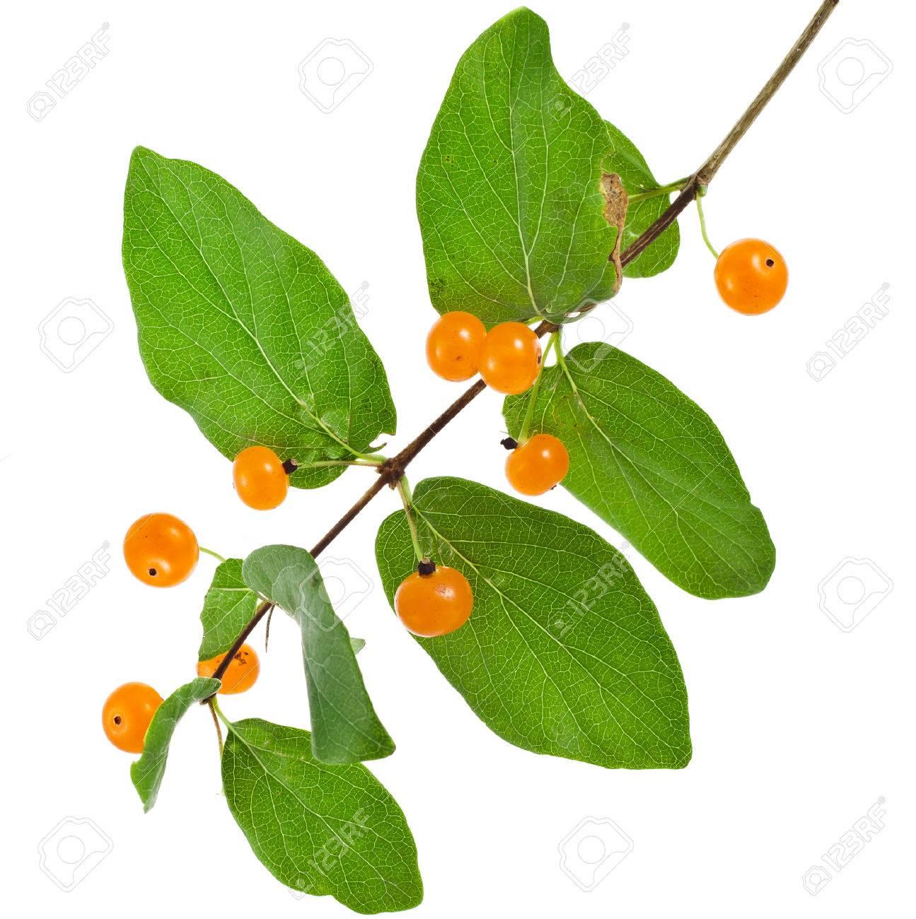 22467148-Tartarian-Honeysuckle-Lonicera-
