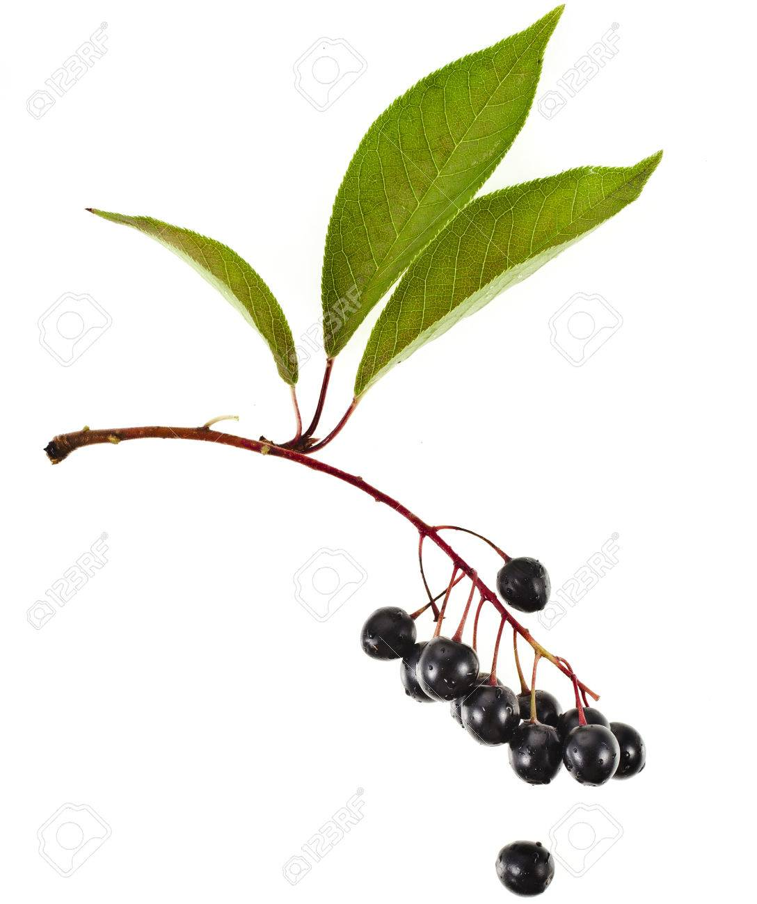 The Branch Of Bird Cherry Tree Prunus Padus Isolated On A White