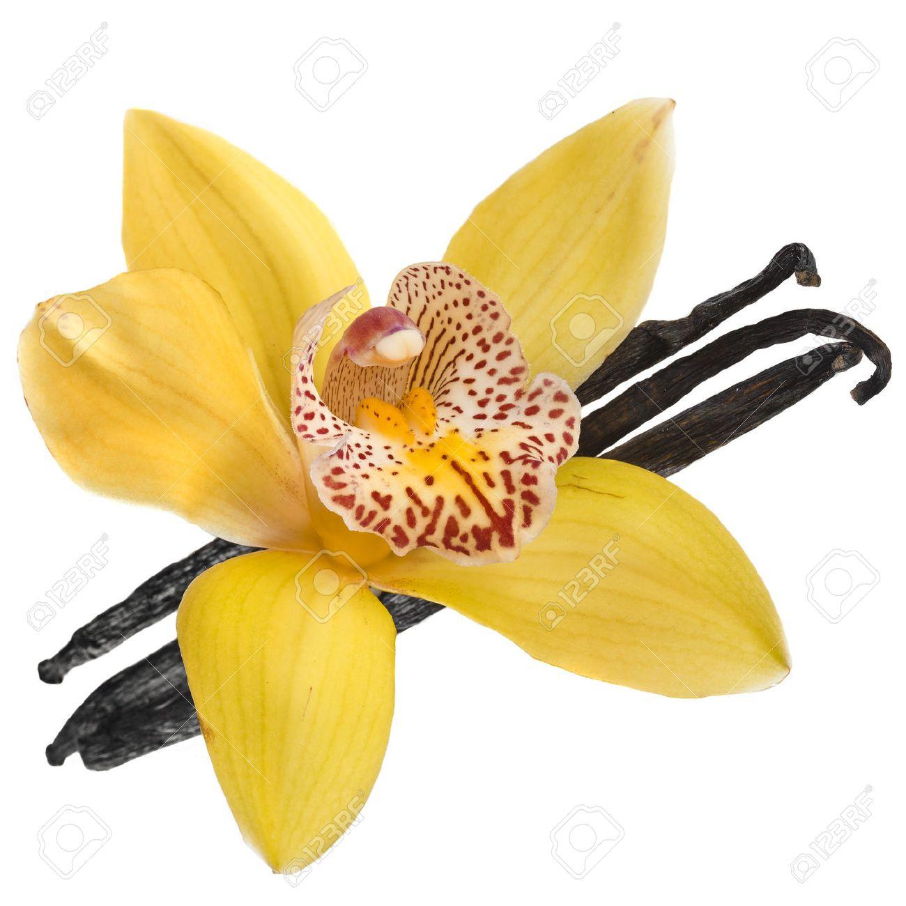 Foto de archivo , orquídea vainilla vaina aislados en fondo blanco