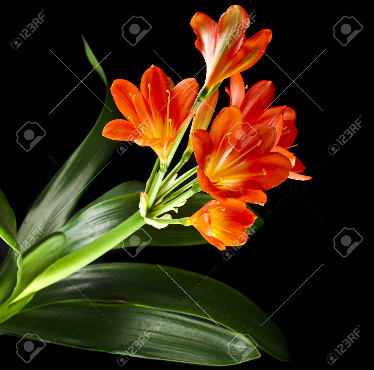 Orange Color Flowers Of Lily Of Clivia Kind Isolated On Black