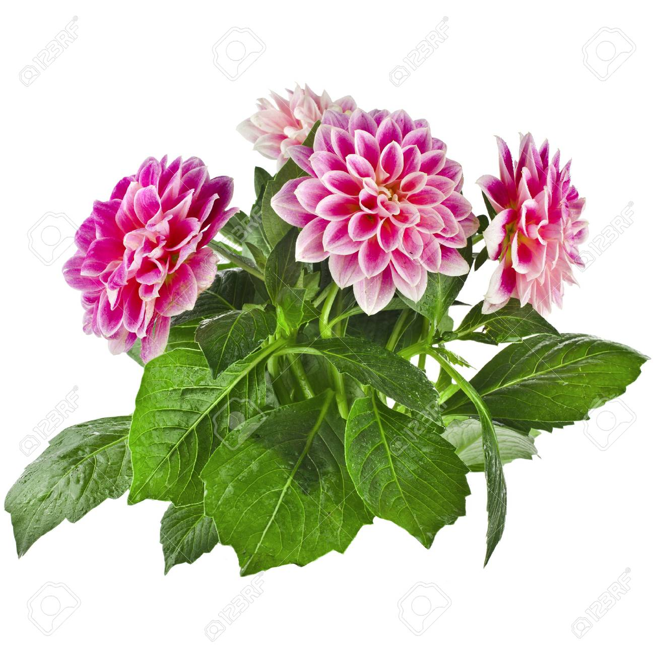 Pink dahlia flowers bouquet isolated on white background stock photo pink dahlia flowers bouquet isolated on white background stock photo 30058695 izmirmasajfo