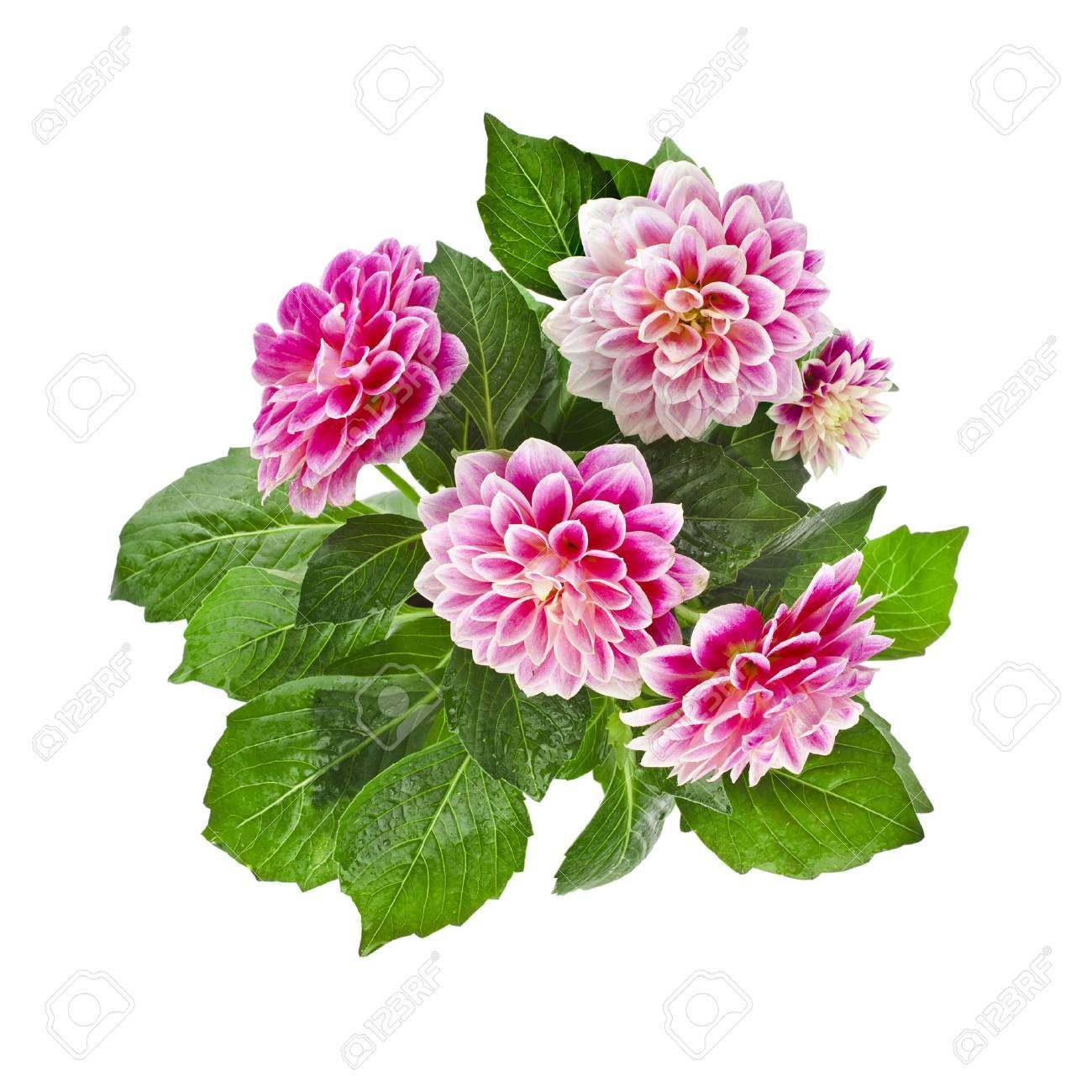 Beautiful Pink Dahlia Flowers Bouquet Isolated On White Background ...