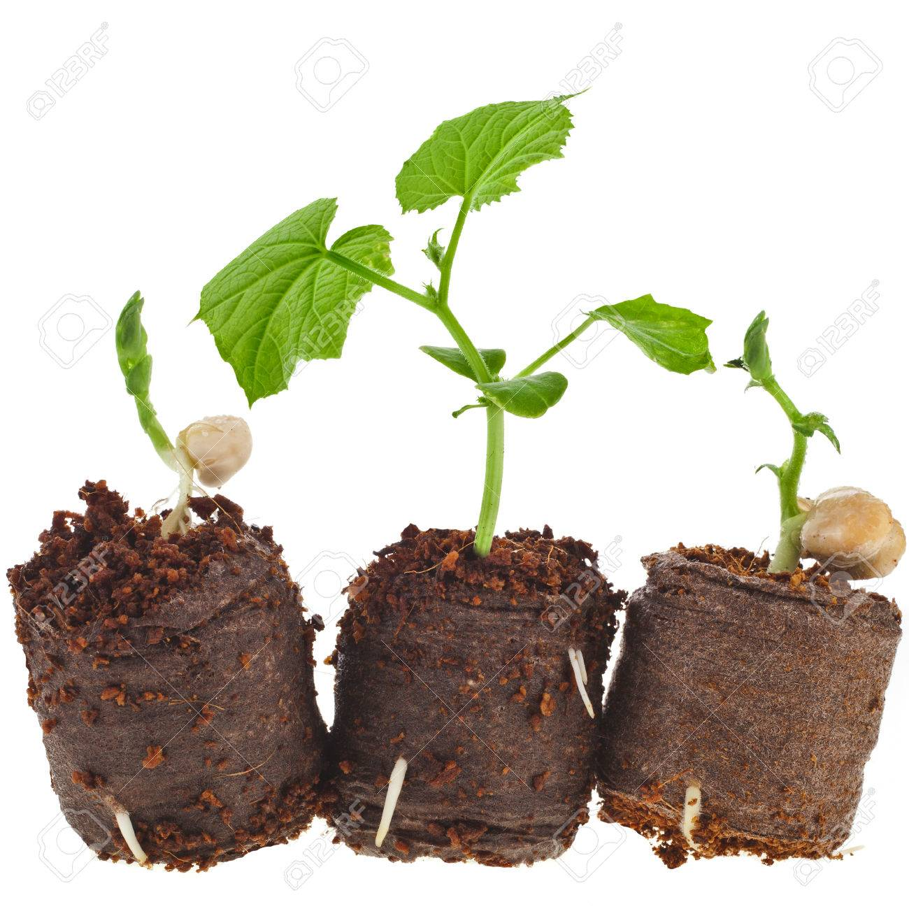 How to use peat tablets for seedlings