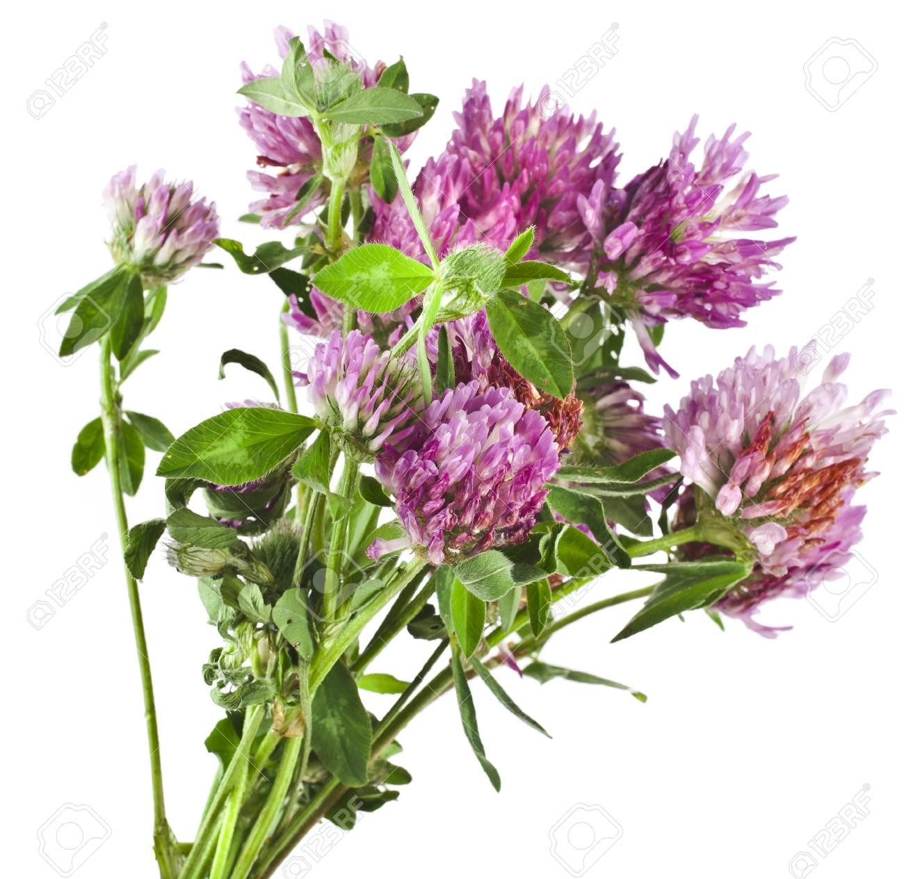 Gros Plan Des Fleurs De Trefle Rouge Trifolium Pratense Isole Sur