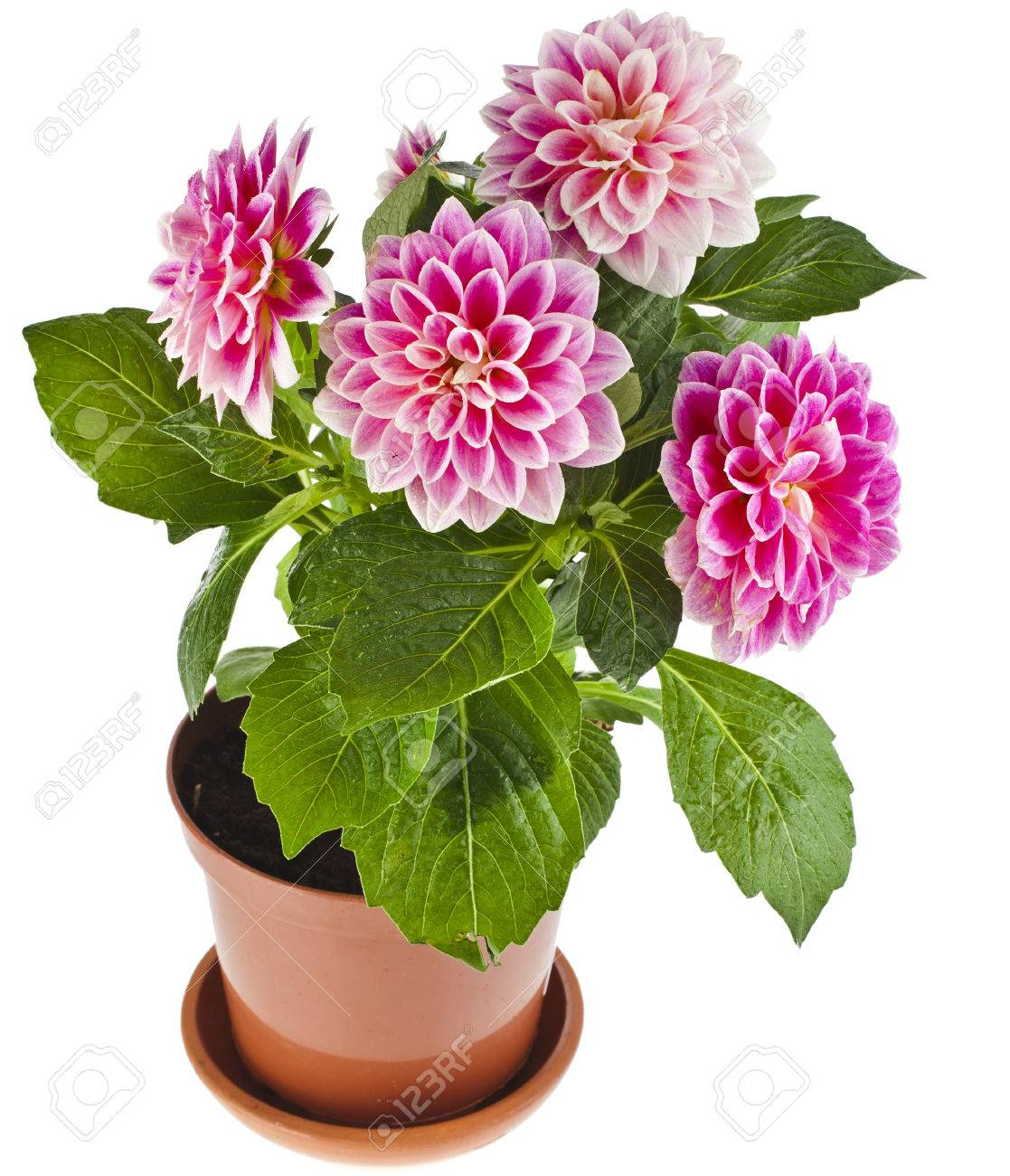 Colored Dahlia Flowers Plant In A Pot Isolated On White Background Stock Photo Picture And Royalty Free Image Image 33319024