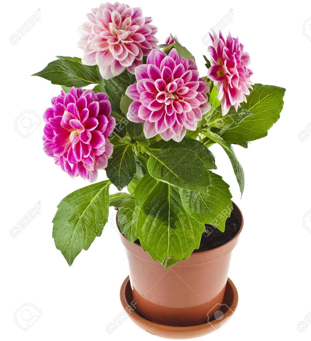 Bloemen In Pot.Gekleurde Bloemen Van De Dahlia Plant In Een Pot Geisoleerd Op Witte Achtergrond