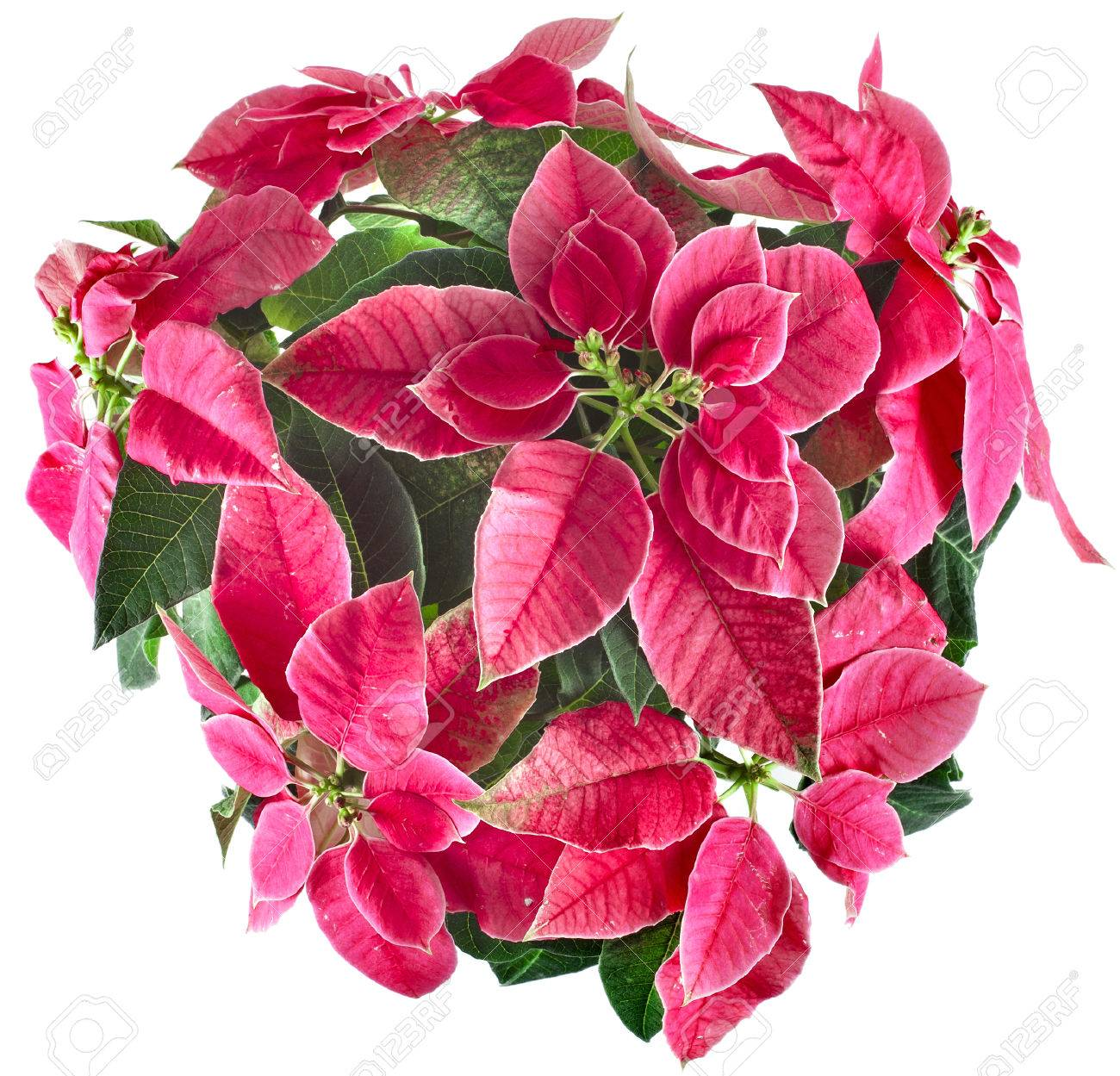 Christmas Flower Pots.Christmas Flower Poinsettia Group In Flower Pot Top View Isolated