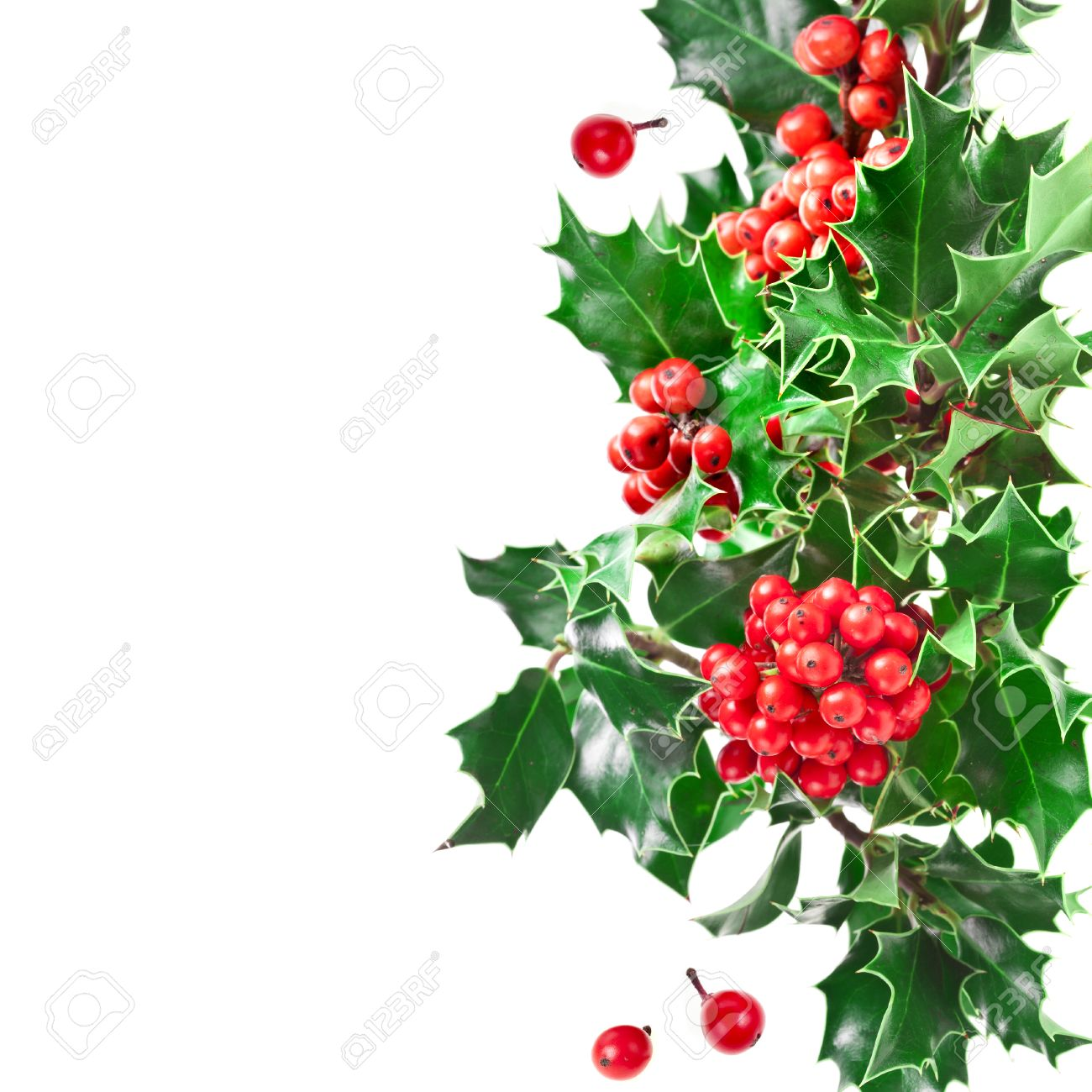 christmas border with holly plant isolated on white background stock photo - Holly Plant