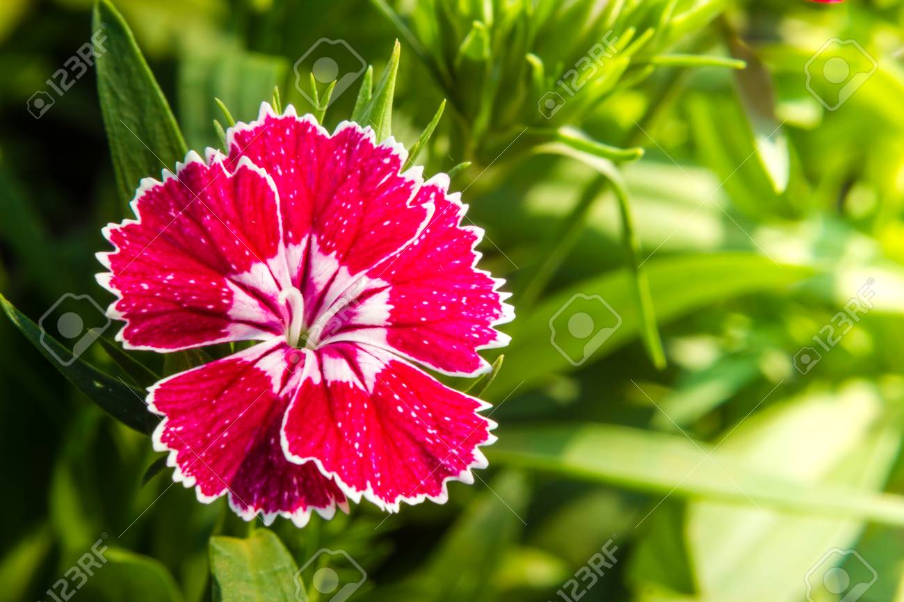 Dianthus Chinensis China Pink Flowers In The Garden Stock Photo