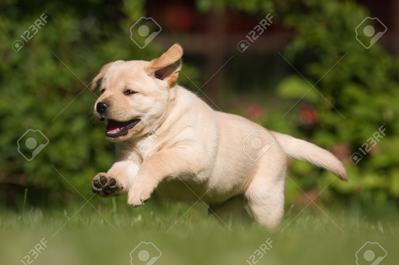 Cute Labrador Puppy Runs Over The Lawn Stock Photo, Picture And ... for Cute Lab Dog Puppy  67qdu