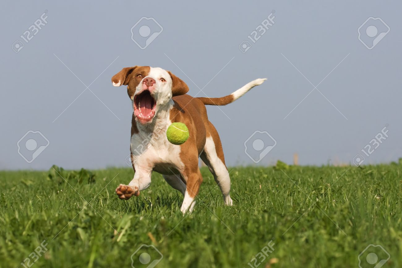 Cute Dog Running After A Ball Stock Photo Picture And Royalty Free