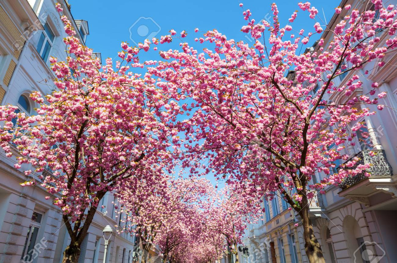 Pink Flowering Cherry Trees In The Old Town Of Bonn German Stock