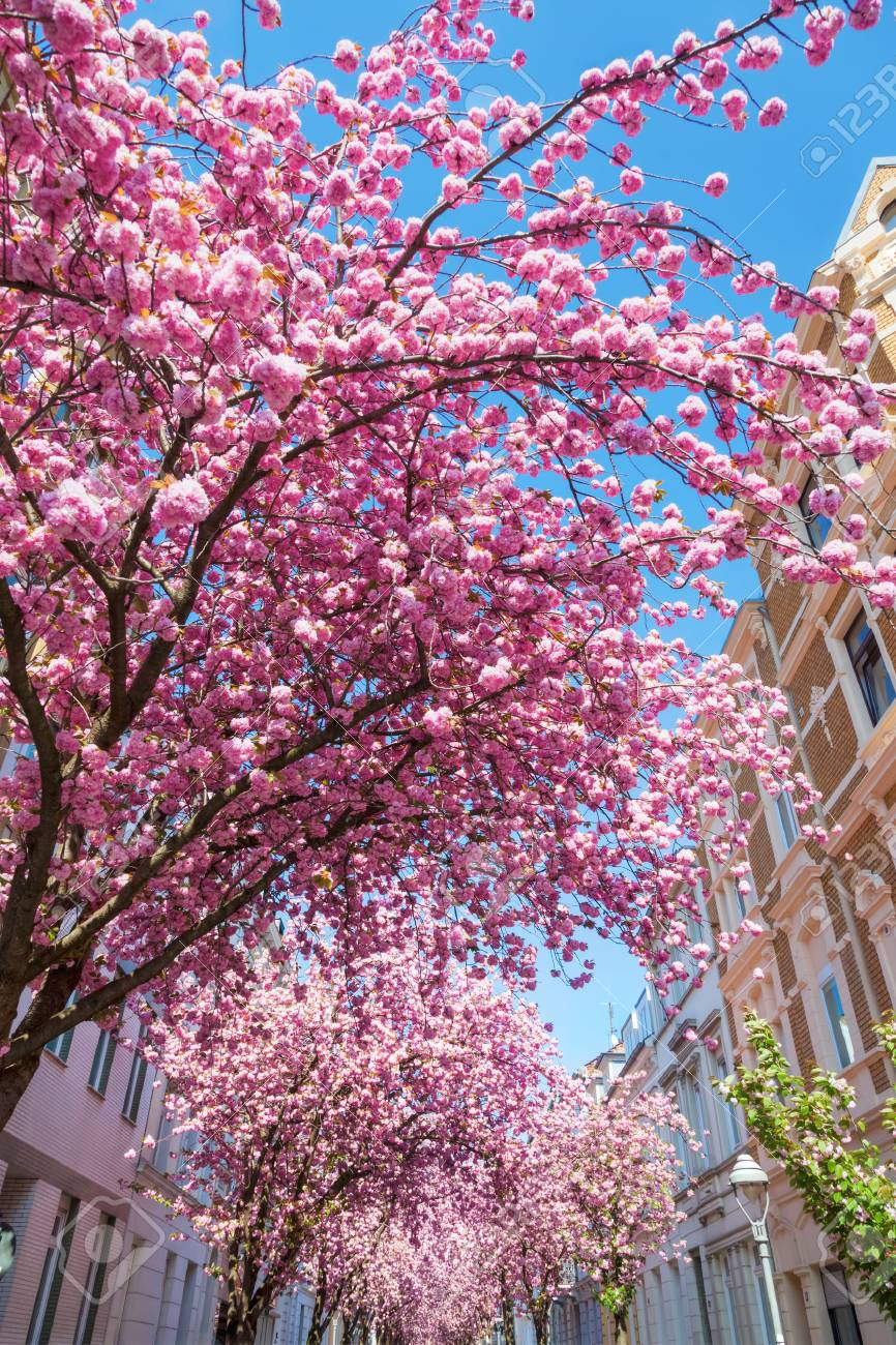Pink Flowering Cherry Trees In The Old Town Of Bonn Germany Stock