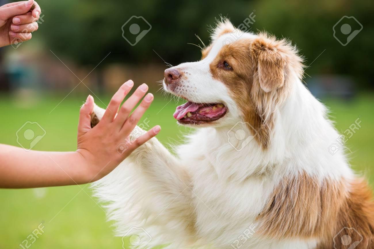 girl gives an Australian Shepherd dog high five - 64627285